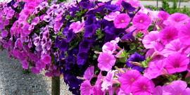 Цветы петунья – посев и уход, от семян до бутонов