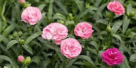 Гвоздика Шабо − как выращивать этот цветок и ухаживать за ним?