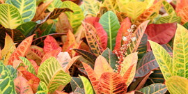 Цветок кратон – уход и борьба с болезнями