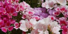 Садовые цветы, цветущие все лето – выбираем с умом!