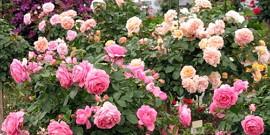 Весенняя подкормка роз – роскошный букет летом!