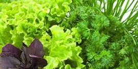 Выращивание зелени в теплице: укроп, петрушка и сельдерей