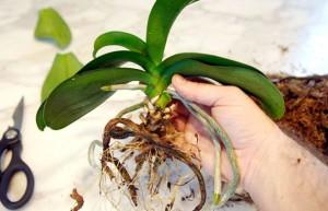 На фото - пересадка комнатной орхидеи, flowertimes.ru