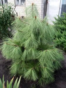 На фото - Орегонская желтая сосна, dergachi.all.biz