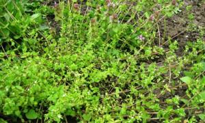 Злейшие враги культурных растений – в борьбе за влагу и питательные вещества