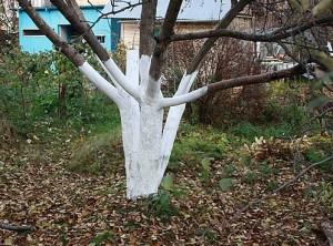 На фото - побелка деревьев осенью, soweren.ru