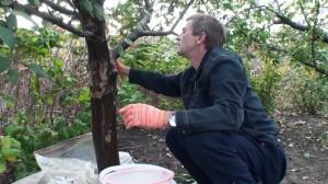 На фото - очистка дерева перед побелкой, dachnicam.ru
