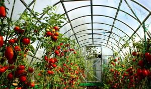 Фото выращивания помидоров в теплице, sad6sotok.ru