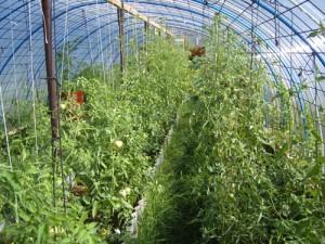 На фото - подвязывание помидоров к шпалерам в теплице, lilygold.ru