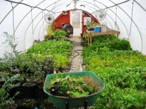 Фото выращивания зелени в теплице, vasha-teplitsa.ru