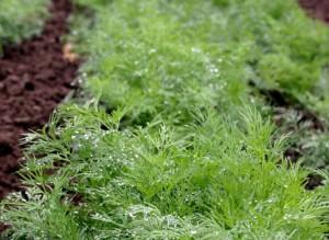 Фото выращивания укропа в теплице, supersadovnik.ru
