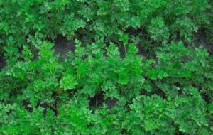 На фото - выращивание петрушки в теплице, rastim.com