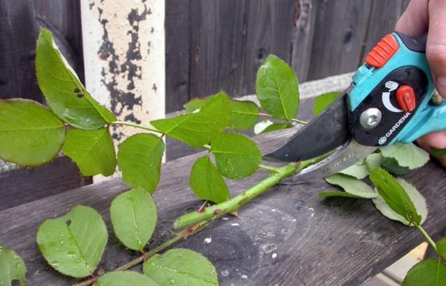 посмотреть видео урок черенкование роз