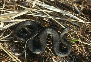 В чем опасность змей на участке?