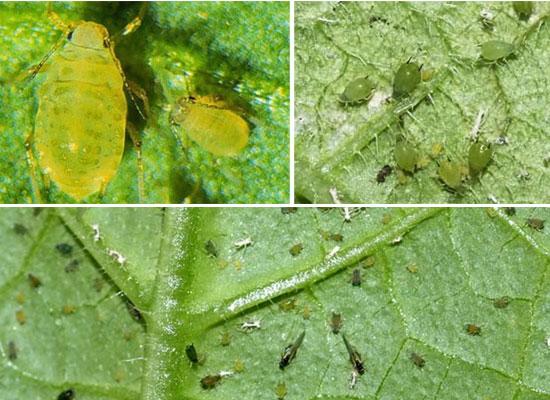 Это такое зловредное сосущее насекомое, которая нашла себе хоромы под нижней стороной листьев красной смородины