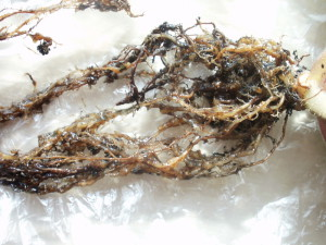 На фото - галловая нематода на корнях огурцов, fialochka.org