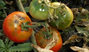 болезнь помидор