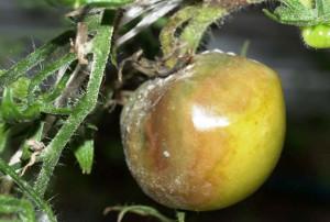 На фото - серая гниль у томатов, supersadovod.ru