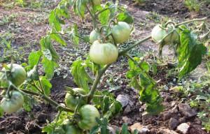 Фото правильной посадки помидоров, ogorod23.ru