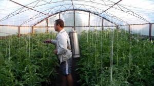 На фото - опрыскивание томатов бордоской жидкостью, youtube.com