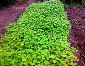 Фото растений-сидератов, vashe-plodorodie.ru