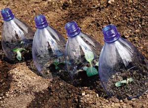Как вырастить рассаду цветной капусты, посаженной в грунт?