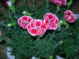 Гвоздика китайская: выращивание из семян 22