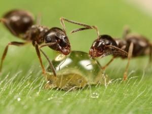 На фото - как можно избавиться от муравьев быстро, echomon.co.uk