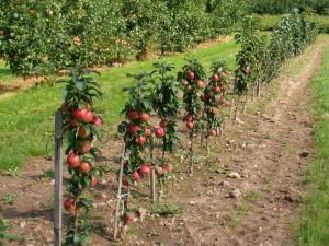 Фото колоновидной яблони, miragro.com