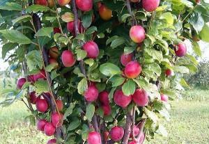 Фото колоновидной сливы, agrosazhenec.com.ua