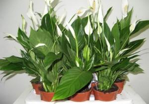 Домашние цветы спатифиллум: уход и создание условий для роста