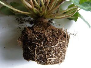 Выращиваем цветок цикломения в квартире: уход и полив