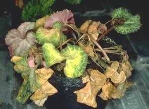 Комнатный цветок цикламен: уход за корнями и обработка от вредителей фото