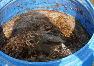На фото - навозная жижа для подкормки огурцов, outdoor.usadbaonline.ru