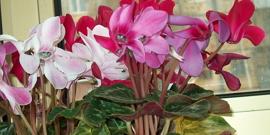 Цветок цикломена – особый уход за комнатным растением