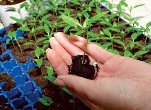 Посадка семян перца на рассаду – процесс в тонкостях фото