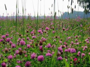 Фото выращивания клевера на подзолистой почве, fotki.yandex.ru