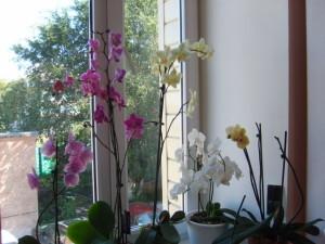 Фото домашней орхидеи, lindi.ru