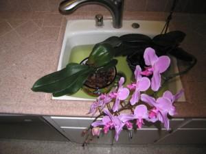 На фото - полив орхидеи, fb.ru