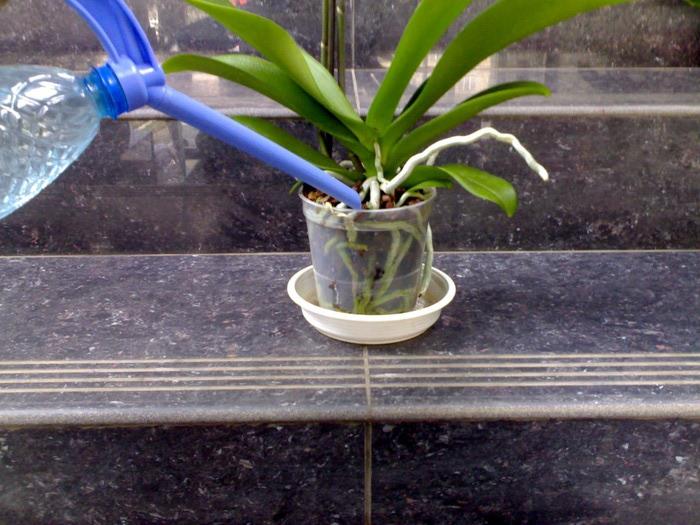 Как поливать орхидею - правила полива и ухода за цветком + видео