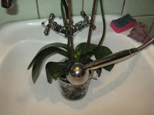 Фото полива орхидеи под душем, velskforest.ru