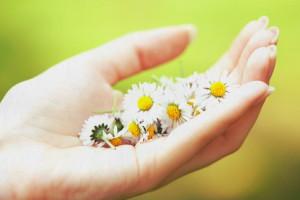 Фото цветков ромашки, domovouyasha.ru