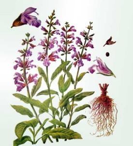 Шалфей лекарственный – применение, лечебные свойства и особенности