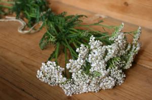 Собираем тысячелистник – лечебные свойства листьев и соцветий