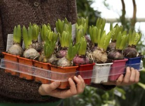Фото луковичных растений, blog.i.ua