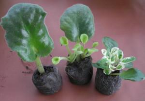 На фото - черенки комнатных растений, babymania.myforums.org.ua