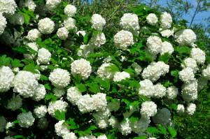 Периоды цветения, или как и для чего выращивать бульденеж