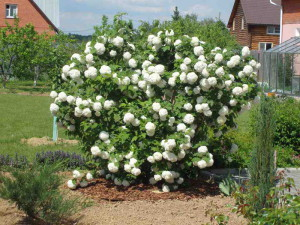 Периоды цветения, или как и для чего выращивать бульденеж фото