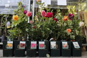 Фото выбора роз для посадки в открытый грунт, hozvo.ru