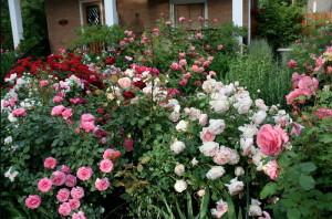 Фото выбора места для посадки роз на даче, decorateme.com